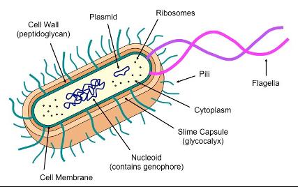 Prokaryotic cell